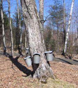 Tarbox Hatch sap