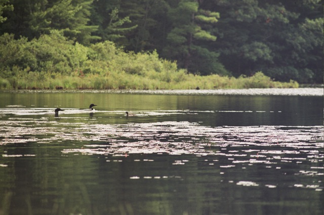 Loon family on the pond.