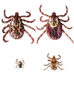 Dog ticks - image courtesy http://www.tickencounter.org