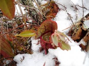 Frozen Carnivorous Pitcher Plant