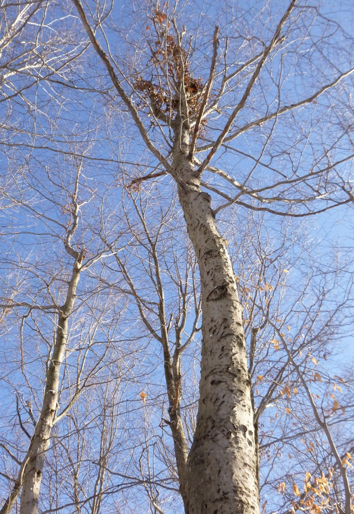 A scarred beech tree with a bear nest in the canopy.
