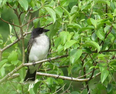 04 Eastern Kingbird, front view, by Clay Brook