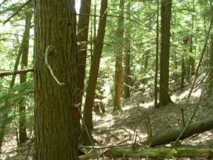 The property has mature hemlock, red spruce, white pine  oak and hophornbeam, an unusual mix of forest communities.