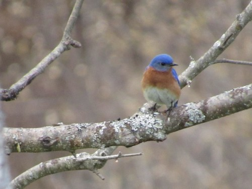 Cole Bluebird