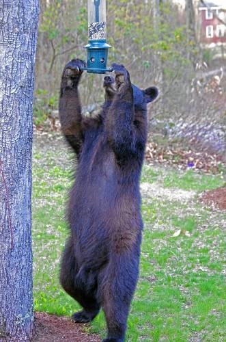 bear bird feeder 3