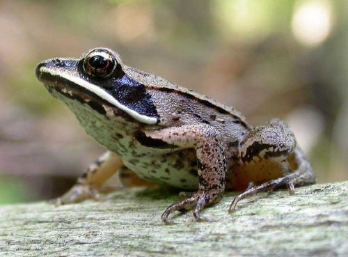 Wood-Frog-Photos