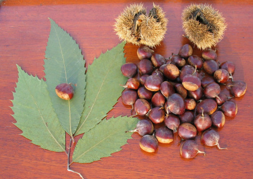 Chestnuts wood, leaves and burrs TACF