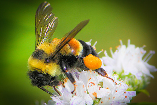 Endangered-Rusty-Patch-Bumble-Bee