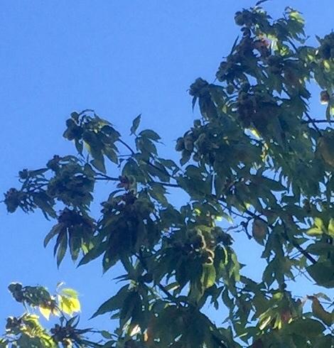 mature chestnut