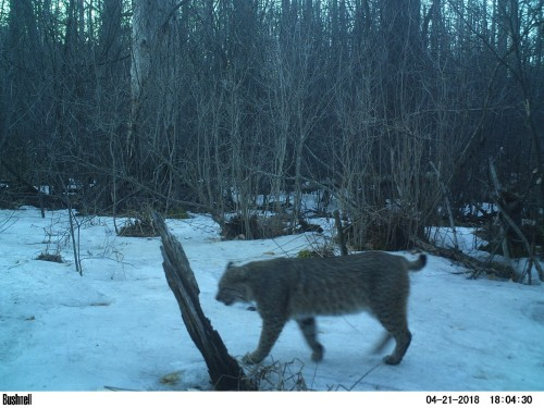 Bobcat at Rix